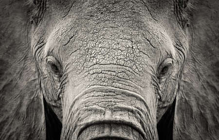 아프리카 코끼리 (Loxodonta africana)의 확대합니다. 케냐, 아프리카 스톡 콘텐츠