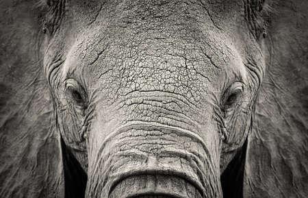 animal sad face: Close-up of African Elephant (Loxodonta africana). Kenya, Africa