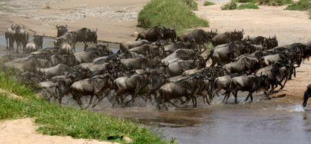 great danger: Wildebeest (Connochaetes) cross a river while migrating on the Maasai Mara National Reserve safari in  Kenya