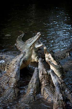 crocodylus: Group crocodile in river. Attack crocodile (crocodylus rhombifer)