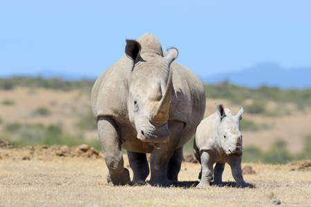 Rhinocéros blanc d'Afrique, parc national du Kenya