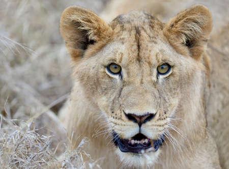 lion 写真素材
