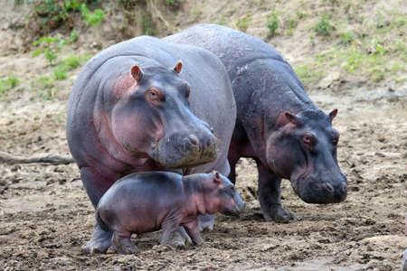 Hippo family (Hippopotamus amphibius) outside the water, Africa Stockfoto