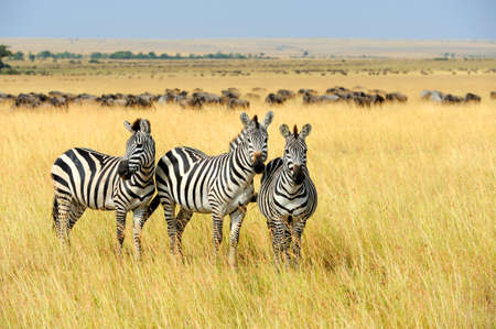 and south: Zebra on grassland in Africa, National park of Kenya