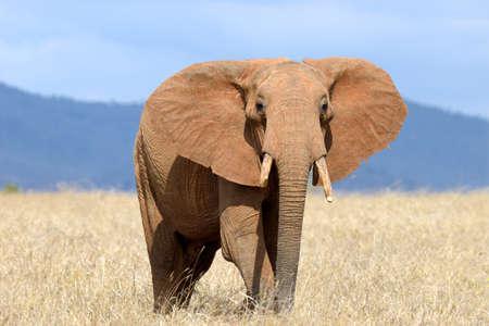the national flag of kenya: Elefante rojo en el parque nacional de Kenia, África