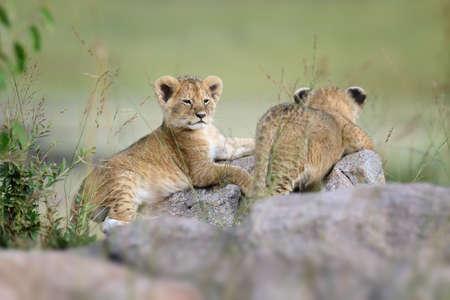 lion cub: African Lion cub, (Panthera leo), National park of Kenya, Africa