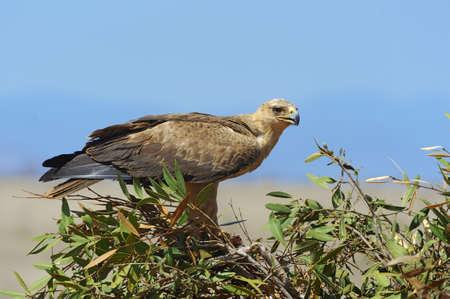 tawny: Tawny eagle (Aquila rapax) sitting on a branch tree, Africa, Kenya