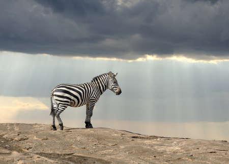 wildlife conservation: Zebra on stone in Africa, National park of Kenya Stock Photo