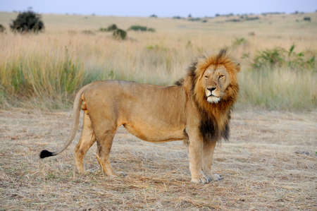 lion head: Close lion in National park of Kenya, Africa Stock Photo