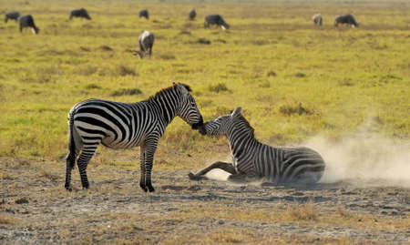 burchell: Zebra on grassland in Africa, National park of Kenya