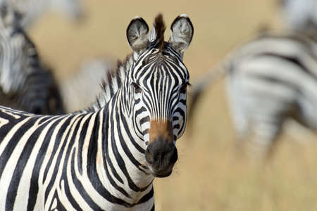 zebra: Zebra on grassland in Africa, National park of Kenya