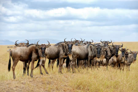 taurinus: Wildebeest, National park of Kenya, Africa
