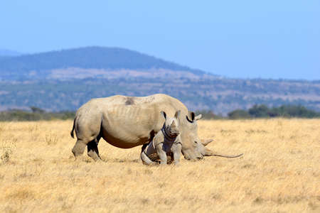 and south: African white rhino, National park of Kenya Stock Photo