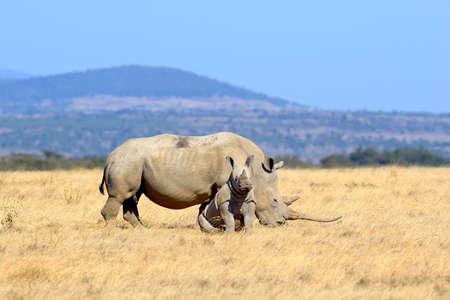 nashorn: Afrikanisches weißes Nashorn, Nationalpark von Kenia