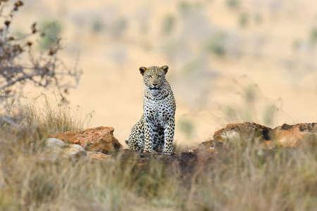 Wild african leopard. National park of Africa, Kenya 스톡 콘텐츠