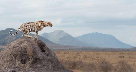 животные: Африканский гепард Дикий, прекрасный млекопитающее животное. Африка, Кения Фото со стока