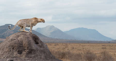 wild cat: Wild african cheetah, beautiful mammal animal. Africa, Kenya