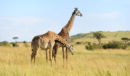 animal head giraffe: Group giraffe in National park of Kenya, Africa