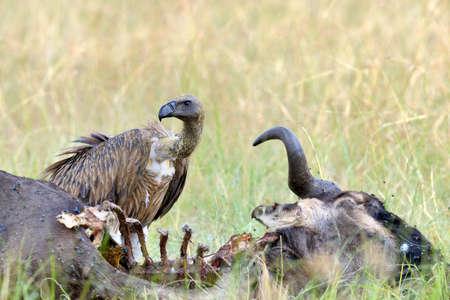 bird eating raptors: Vulture feeding on a kill. Masai Mara National Park, Kenya