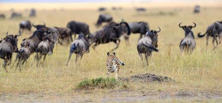 jubatus: Cheetah (Acinonyx jubatus) pursuit a wildebeest, Masai Mara, Kenya