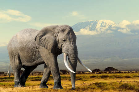 Elephant on Kilimajaro mount background in National park of Kenya, Africa Stok Fotoğraf