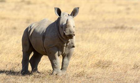 African white rhino, National park of Kenya 版權商用圖片
