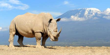 kilimanjaro: African white rhino on Kilimanjaro mount background, National park of Kenya Stock Photo