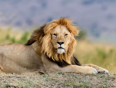 Close lion in National park of Kenya, Africa Stock Photo