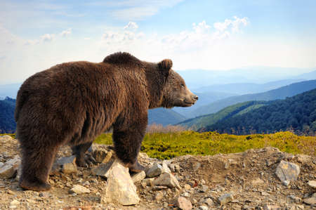 brown backgrounds: Big brown bear (Ursus arctos) in the mountain