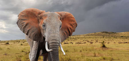 Elephant in National park of Kenya, Africa 스톡 콘텐츠
