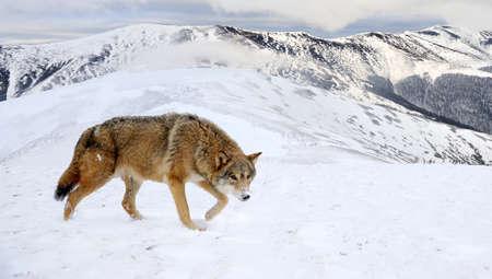 gray wolf: Beautiful wild gray wolf in winter mountain