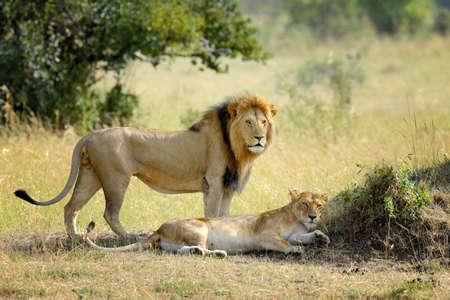 furry animals: Primer plano de león en el parque nacional de Kenia, África