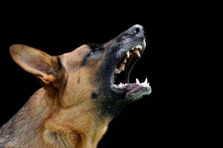 barking: Close-up portrait angry dog on dark background Stock Photo