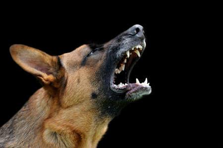 Close-up portrait angry dog on dark background Standard-Bild