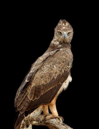tawny: Tawny eagle (Aquila rapax) sitting on a branch tree on dark background, Africa, Kenya