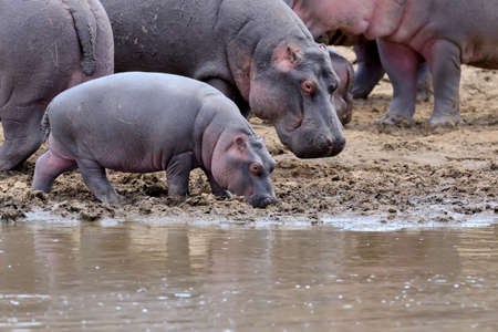 amphibius: Hippo family (Hippopotamus amphibius) outside the water. Kenya, Africa Stock Photo