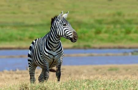 zebra: Cebra cerca del agua en África, el Parque Nacional de Kenia