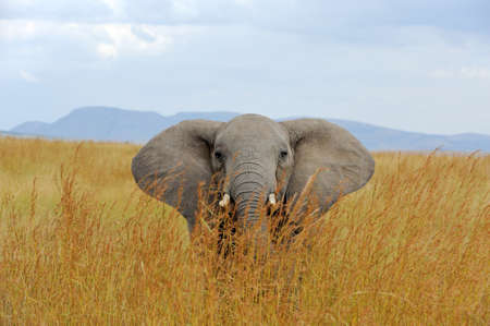 Big elephant in National park of Kenya, Africa 免版税图像