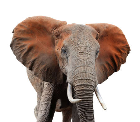 Old african elephant isolaterd on white background