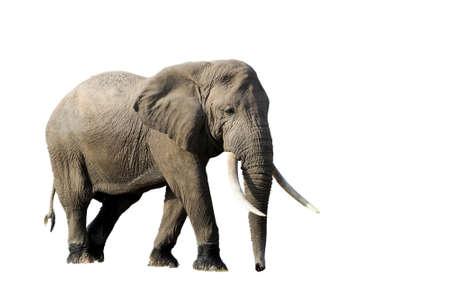 코끼리 흰색 배경에 고립