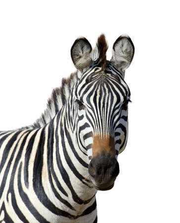 zebra: Cebra aislada en el fondo blanco