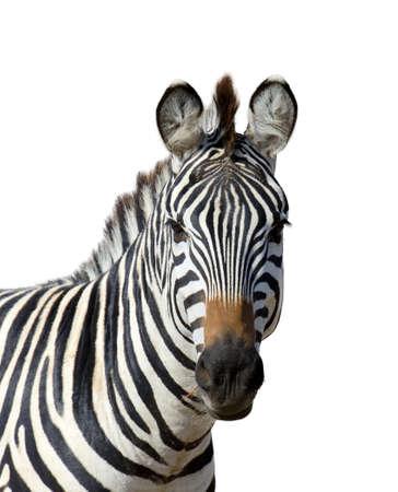 zebra: Zebra isolated on white background Stock Photo