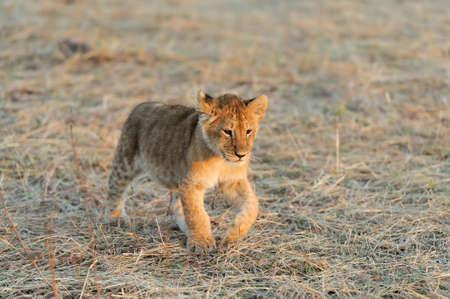 panthera leo: African Lion cub, (Panthera leo), National park of Kenya, Africa
