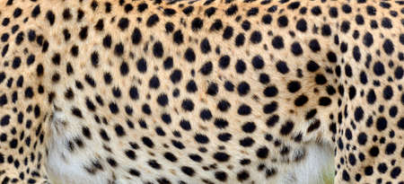 chetah: Close-up view of the real skin of a cheetah