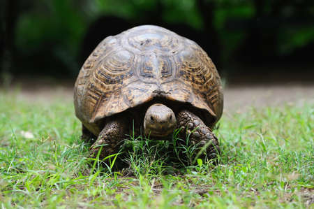 land shell: Turtle in grass, National park of Kenya, Africa