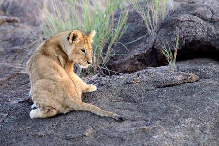 cachorro: Cachorro de león africano (Panthera leo), el Parque Nacional de Kenia, África Foto de archivo