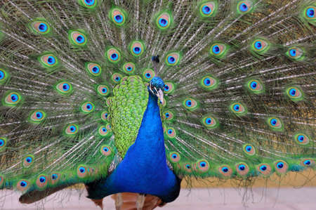 pavo: Portrait of beautiful pavo with feathers out