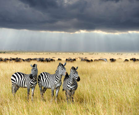 zebra: Zebra en pastizales en África, parque nacional de Kenia