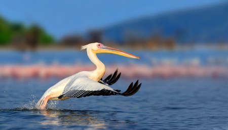 florida flamingo: Great white pelican flying over the lake, Kenya, Africa Stock Photo