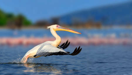 Großer weißer Pelikan fliegt über den See, Kenia, Afrika Standard-Bild